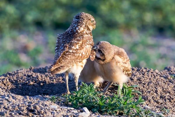 Burrowing Owl Photography