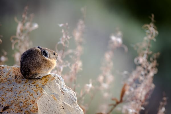 Pika In Rock of Yellowstone National Park
