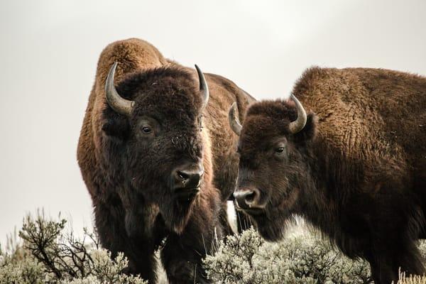 Bison of Yellowstone National Park Buffalo Photography Art