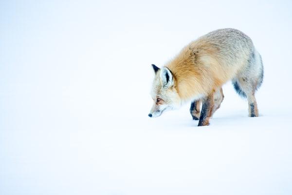 Fox Hunting Winter Art Photography
