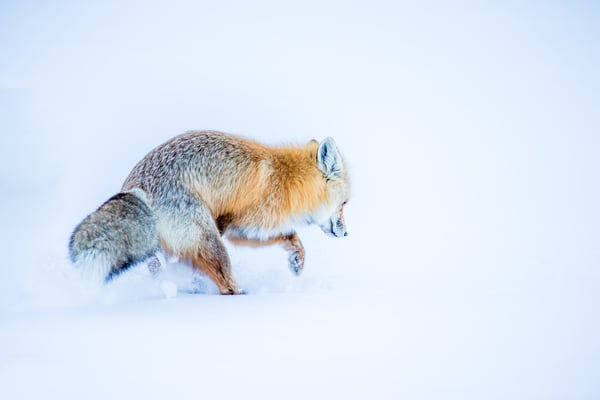 Fox Digging and Hunting in the Snow in Colorado