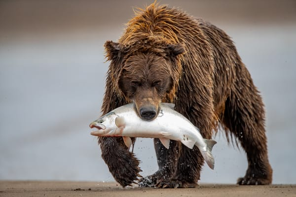 Fisher Bear Photography Art | danieldauria