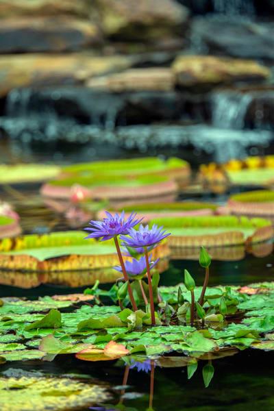 Lotus pond at the Birmingham Zoo