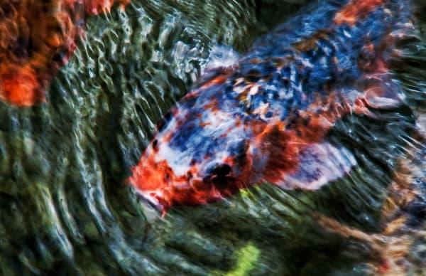 Blue Koi Abstract Photography Art | Ed Sancious - Stillness In Change