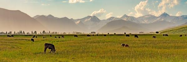 Crested Butte Cows Photography Art   Alex Nueschaefer Photography