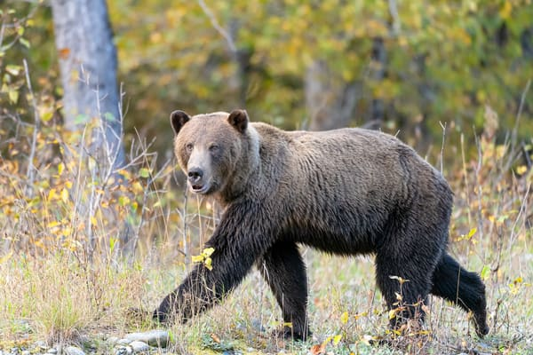 Angry Bear At The Fishing Stream  Art | Alaska Wild Bear Photography