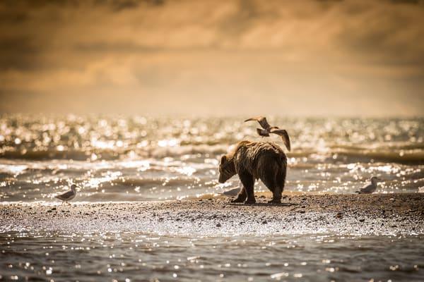 Brown Bear Beach Alaska Lake Clark National Park
