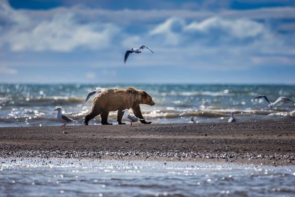 Brown Bear Alaska Lake Clark National Park Photo