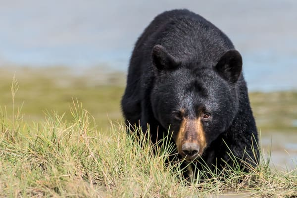 Black Bear photography