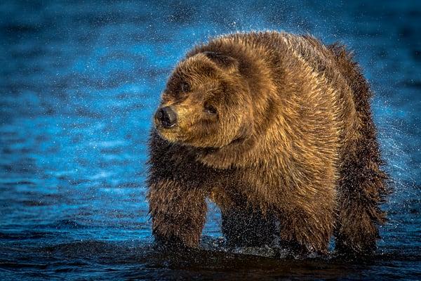 Fishing Alaskan Brown Bear