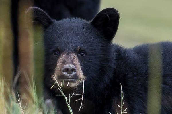 Alaska Black Bear Cub Photo Art