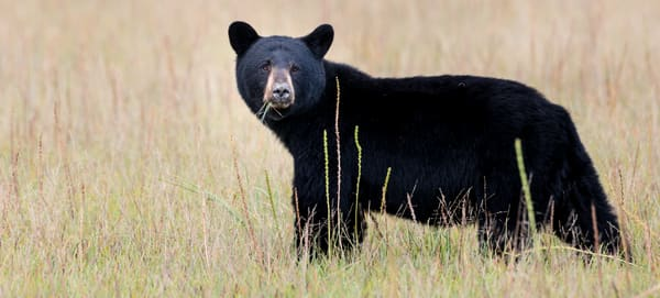 Black Bear Photo Wall Art