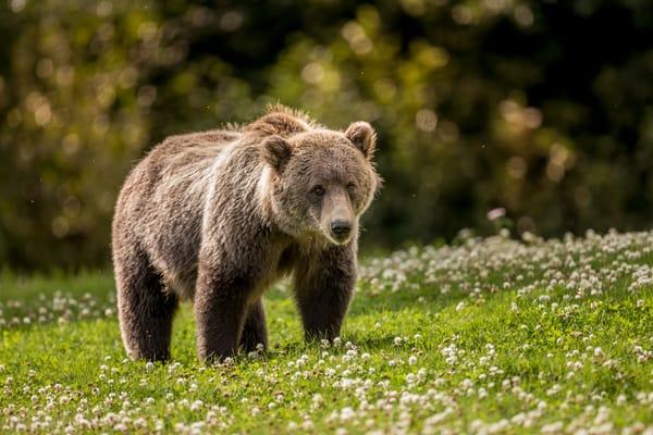 Photography Bear In Alaska