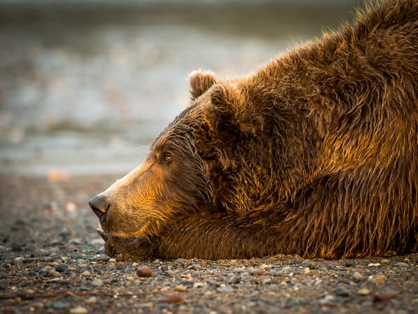 Bear on the Beach Photography