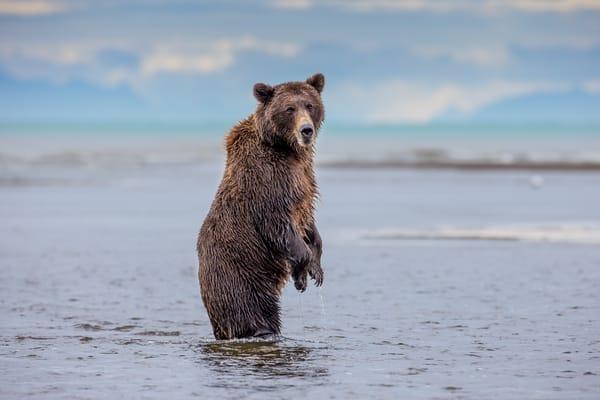Bear Fishing In Alaska