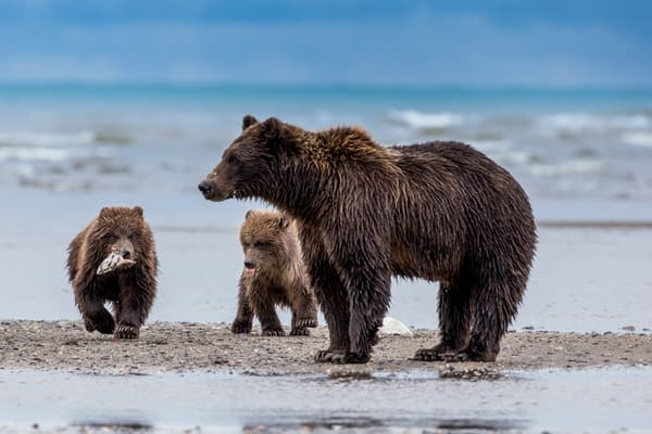 Brown Bear Cubs  Fishing Bears on Alaskan Coast