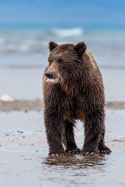 Alaskan Bear Fishing
