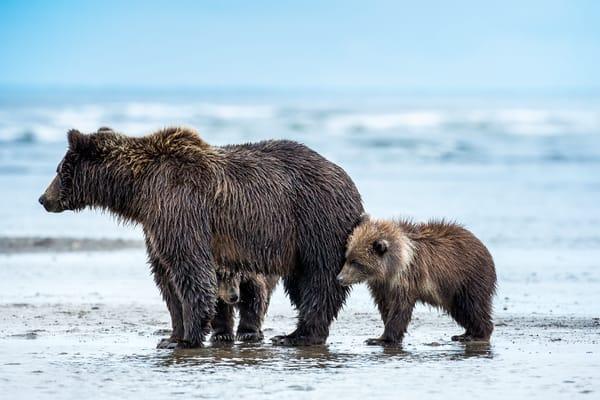 Bear Cubs on Alaskan Coast with Brown Bear Mama Fine Art Photography