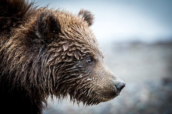 Wild Brown Bear Cub