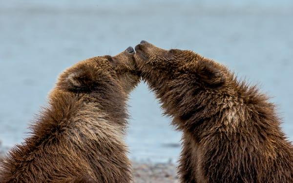 Photography Bear Cub Kisses
