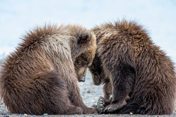 Bear Cubs In Alaska