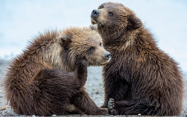 Bear Cubs on The Beach
