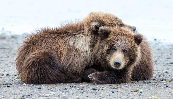Bear Cubs Snuggle in Alaska