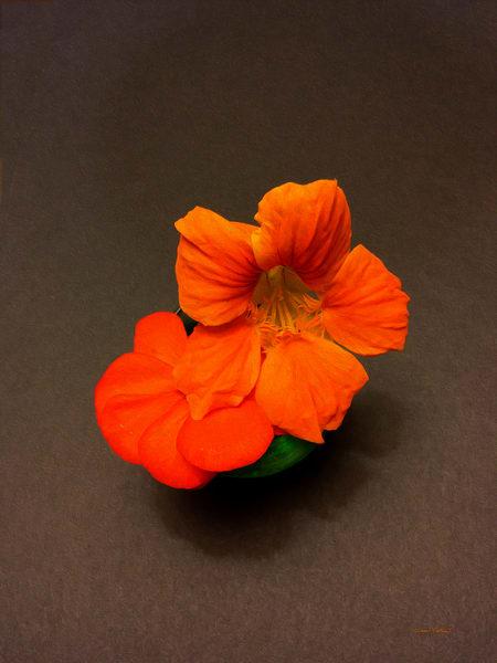 Nasturtium Flowers OP2 - Debra Cortese