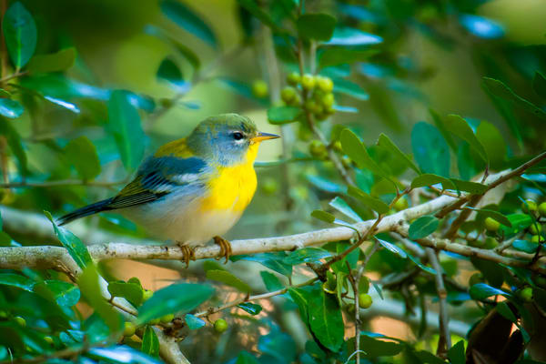 Northern Parula in a Bush