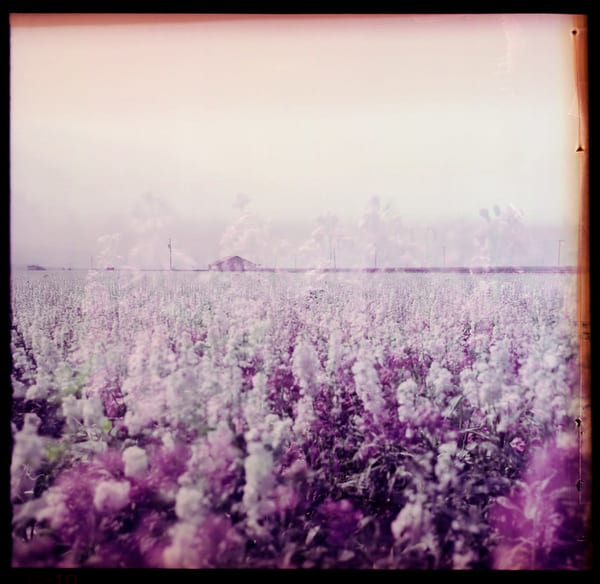 California Landscape Photography - Lavender Flowers - Double Exposure