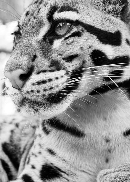 endangered, clouded-leopard, wildlife