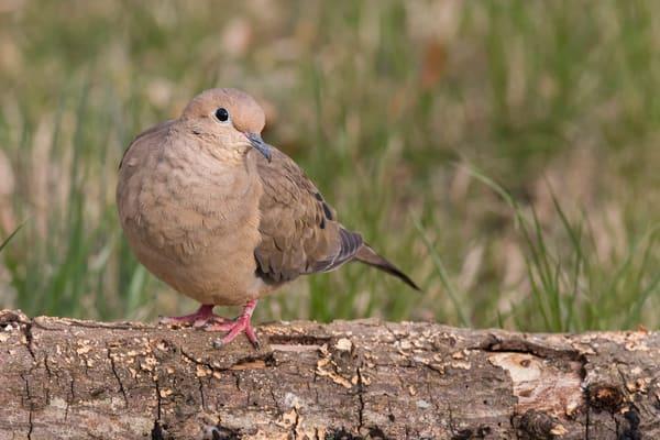 Mourning Dove on Log