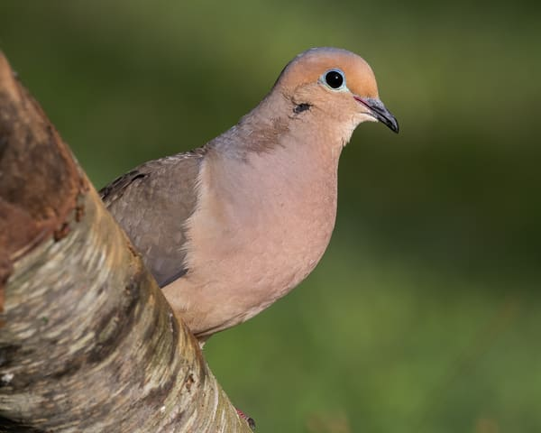 Mourning dove perched on a fallen tree.