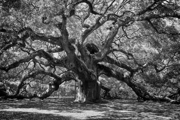 Angel Oak Tree in Black and White
