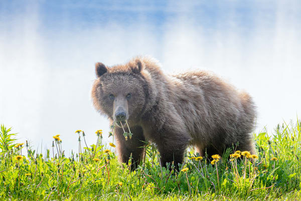 Dandelion Brown Bear Art | Alaska Wild Bear Photography