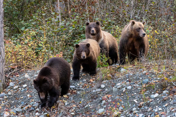 Bear Family In The Woods Art | Alaska Wild Bear Photography