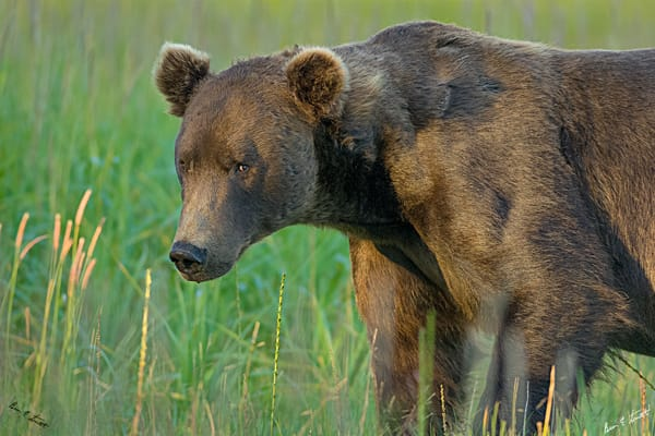 Morning Bear Stare Art | Alaska Wild Bear Photography