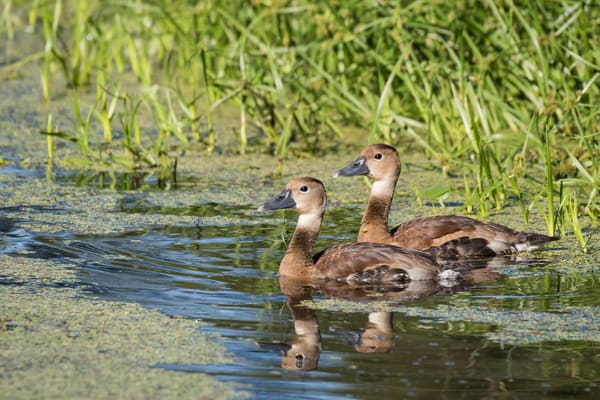 Black-bellied Whistling Duck Juveniles, Damon, Texas