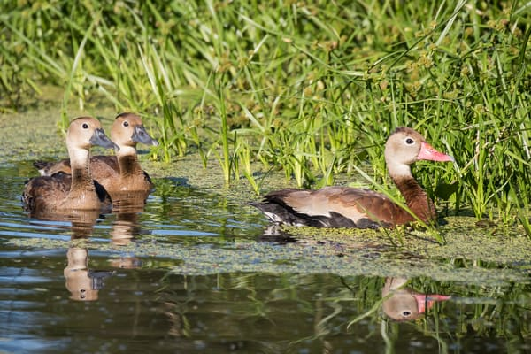 Black-bellied Whistling Duck Family, Damon, Texas