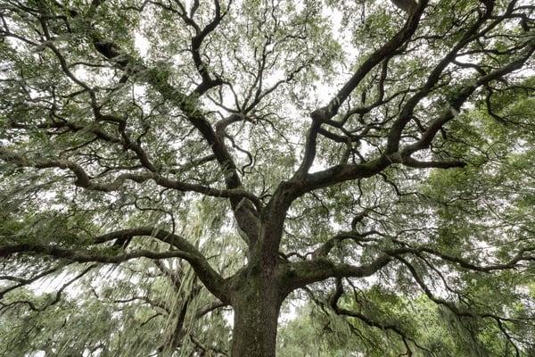 Live Oak Tree Branch Pattern, Damon, Texas