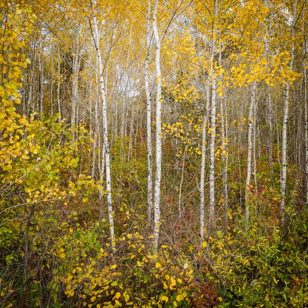 Fall Birch Forest II, photography by Jeremy Simonson.