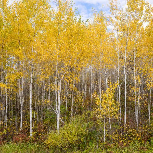 Fall Birch Forest I, photography by Jeremy Simonson.