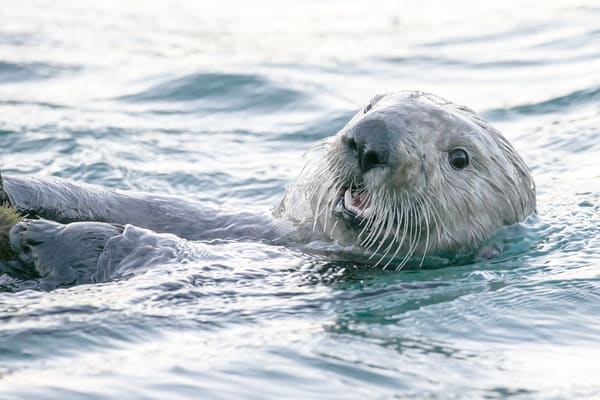 Sea Otter Fine Art Photography