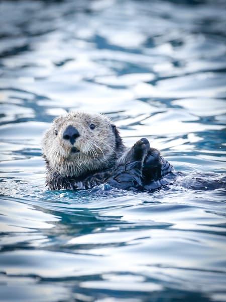 Fine Art Photography Sea Otter In  Seward, Alaska