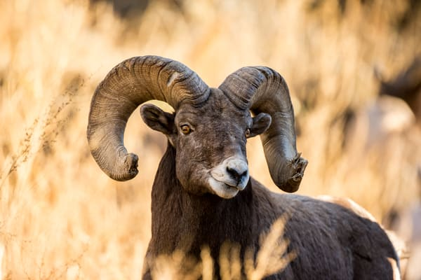 Fine Art Photography Big Horn Sheep