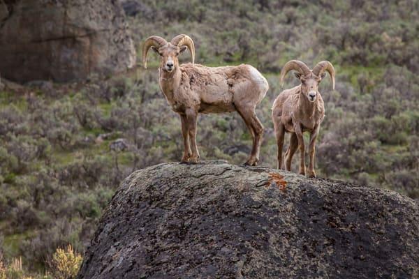 Big Horn Rams Photograph