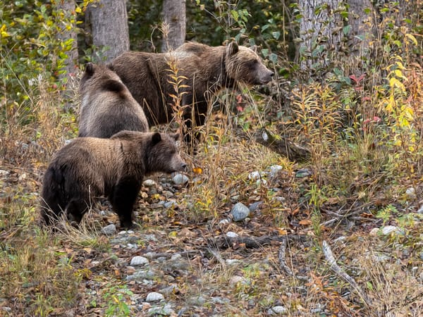 Bear Family In The Fall Wood   Art Print Art | Alaska Wild Bear Photography