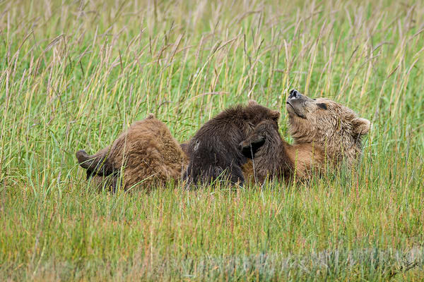 Contentment Art | Alaska Wild Bear Photography