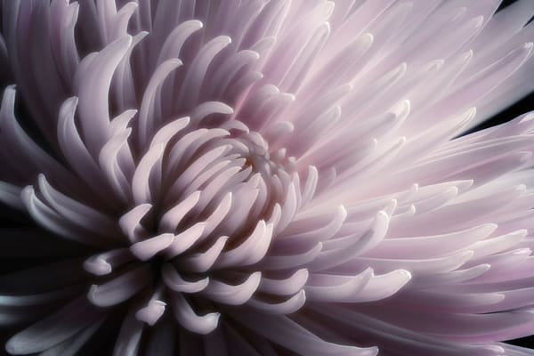 Spider Mum Flower Photo Print