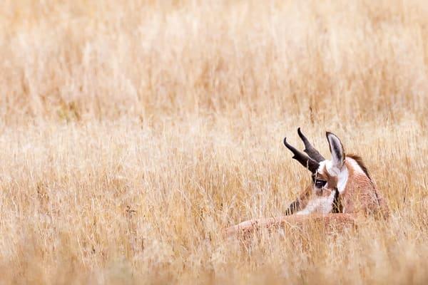 Prairie Pronghorn